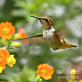 Flying Scintillant Hummingbird by Heiko Koehrer-Wagner