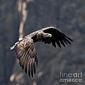 Flying Sea Eagle  by Heiko Koehrer-Wagner
