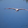 Flying Spoonbill by John M Bailey