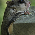 Flying Squirrel by Dale Kauzlaric