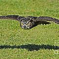 Flying Tiger... by Nina Stavlund