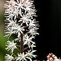 Foam Flower by Susan Herber