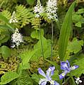 Foamflower And Crested Dwarf Iris - D008428 by Daniel Dempster