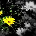 Focus On 2 Yellow Daisies by Pamela Hyde Wilson