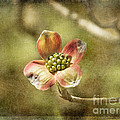 Focus On Dogwood by Terry Rowe