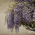 Focus On Wisteria by Terry Rowe