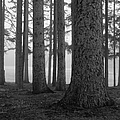 Fog Within The Pines  Bw by Rachel Cohen