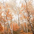 Foggy Autumn Aspens by Eti Reid