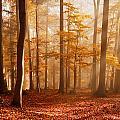 Foggy Beech Forest by Milan Gonda