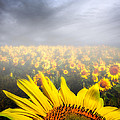 Foggy Field Of Sunflowers by Bob Orsillo