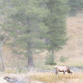 Foggy Morning Elk by Todd Roach