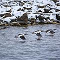 Follow Me - Common Mergansers by Jack R Perry