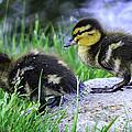 Follow The Leader Ducky Style by LeeAnn McLaneGoetz McLaneGoetzStudioLLCcom