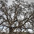 Folsom Old Oak  by Diego Re