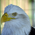 Fontana Eagle Portrait 4 by Bonfire Photography