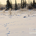 Footprints In Fresh Snow by Louise Heusinkveld