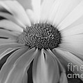 For My Daisy by Deena Otterstetter