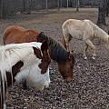 Foraging Horses by John Wall