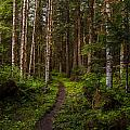 Forest Alder Path by Mike Reid