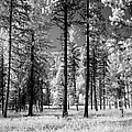 Forest Black And White by FL collection