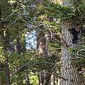 Forest Black Bear Cub by Max Waugh
