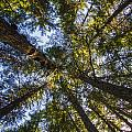 Forest Canopy by Kyle Lavey