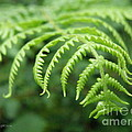 Forest Fern by Lainie Wrightson