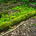 Forest Floor Gosnell Big Woods by Tim Buisman