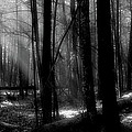 Forest Light In Black And White by Douglas Stucky