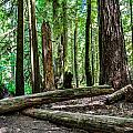 Forest Of Cathedral Grove Collection 2 by Roxy Hurtubise