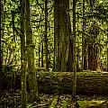 Forest Of Cathedral Grove Collection 3 by Roxy Hurtubise