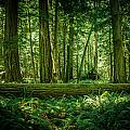 Forest Of Cathedral Grove Collection 7 by Roxy Hurtubise
