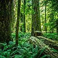 Forest Of Cathedral Grove Collection 8 by Roxy Hurtubise