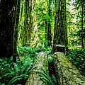 Forest Of Cathedral Grove Collection 9 by Roxy Hurtubise