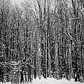 Forest Of Snow by Sara Frank