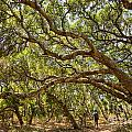 Forest Stroll - The Magical And Mysterious Trees Of The Los Osos Oak Reserve. by Jamie Pham