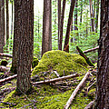 Forest With Moss-covered Rocks Along John's Lake Trail In Glacier Np-mt by Ruth Hager
