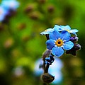 Forget Me Not Bloom by Chris Berry