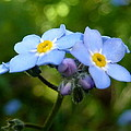 Forget-me-not by Rain Shine