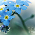 Forget Me Not by Simona Ghidini