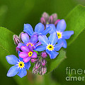 Forget-me-not Stylized by Sharon Talson