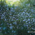 Forget Me-nots by Alana Ranney