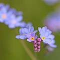 Forget Me Nots by Peggy Collins