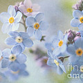 Forget Me Nots by Sylvia Cook