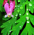 Formosa Bleeding Heart On Ferns by Dave Welling