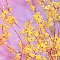 Forsythia by Pati Photography