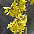 Forsythia by Valerie Kirkwood