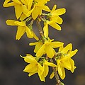 Forsythia X Intermedia 'lynwood Gold' by Science Photo Library