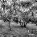 Fort Ord Ca Oaks by Carla Hamelin