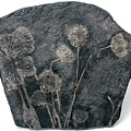 Fossil Crinoids by Pascal Goetgheluck/science Photo Library